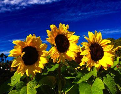 Sunflowers At Idlewild Farm - Acton MA